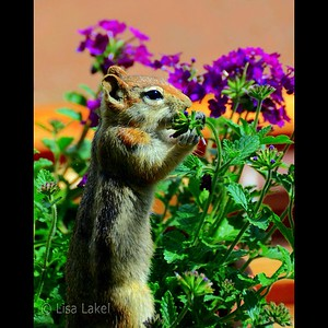 FLOWER THIEF. This cute little chipmunk loves my annuals.