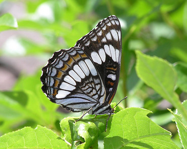 PINE VALLEY BUTTERFLY. This Weidemeyer's Admiral butterfly perches on some foliage at Pine Valley Ranch Open Space, Pine, Colorado.