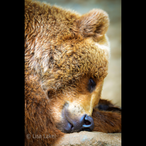 SLEEPING BEAR. This Grizzly is napping through the parade of photographers lined up to capture an image of him. Every so often Mike's Camera has a Demo Day at the Denver Zoo, allowing you to test drive the latest cameras and lenses. I took this shot with one of those lenses on my Nikon D7000. I would have loved to purchase that lens but at $12,000 it was a bit beyond my price range. 😐 But it's a great time to test out more reasonably priced lenses too so if you're in the area check it out!