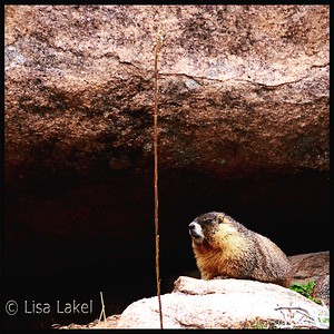 CURIOUS MARMOT. As I was hiking along a trail at Staunton State Park just west of Conifer, a curious Yellow-bellied Marmot came out from his hiding place to see what I was doing.