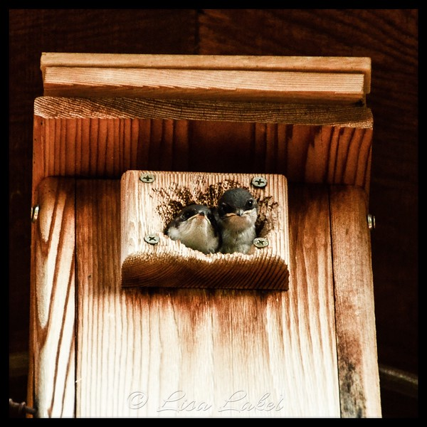 August 2, 2018. EMPTY NEST. I got to watch these little Tree Swallows fledge their nest in the bird box above our deck this week. This was the second brood for the parents this year. It was exciting to watch them leave the box and take flight for the first time! I will miss the frequent feedings by the adults and the tiny chirps of the nestlings .