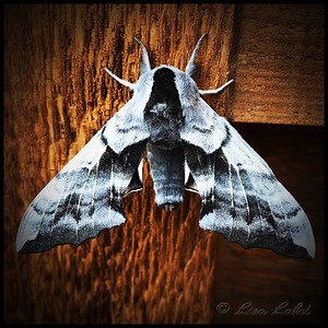 June 19, 2018. AFTER THE RAIN. This is one of a half dozen One-Eyed Sphinx Moths (Smerinthus cerisyi) that appeared on our deck and house on Conifer Mountain after the hard rain we had Sunday. As it seems they are nocturnal, I don't know if they had just emerged or were trying to recover from the downpour. I've often seen the White-Lined Sphinx Moths here but this is the first time I've seen the One-Eyed variety. They are so beautiful and interesting!