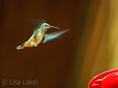 Female Broad-tailed hummingbird at my feeder.