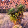 Yucca and rabbitbrush, Dragoon Mountains, Arizona
