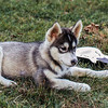 Lupe, the Husky