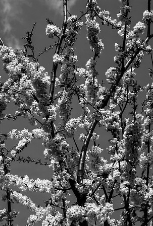 Flower of Croatia (B&W)
