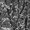 Flowers of Croatia (B&W)