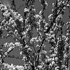 Flowers of Croatia (B&W)