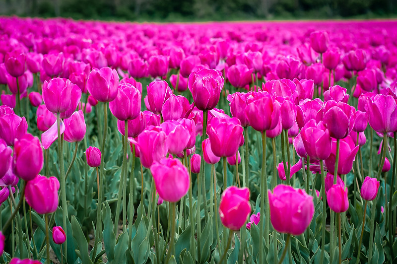 Tulips of Brittany
