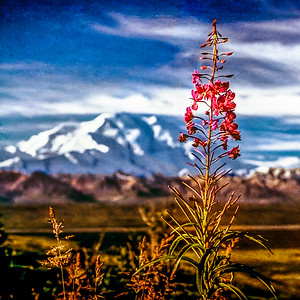 Flowering View of Denali