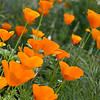 A lovely field of California poppies in April 2012 at Lake Del Valle/