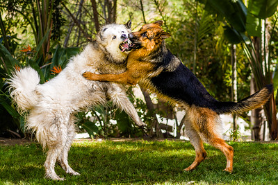 Large Dogs Playing...Really!!!