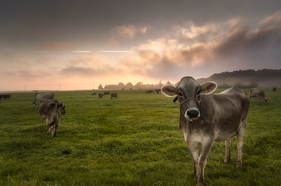 Cows | Kühe