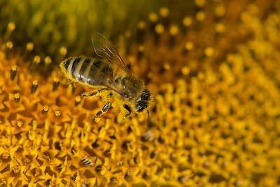 Honey Bee | Honigbiene
