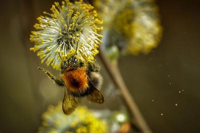 Bumblebee | Hummel