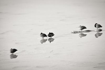 Duck | Ente