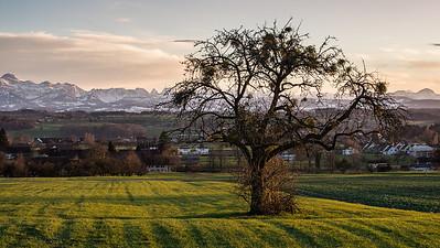 Obstbaum | Thurgau (Schweiz)