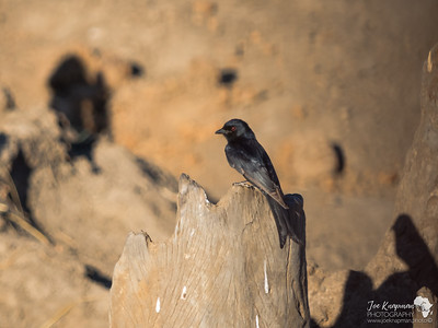 Drongo in Hwange