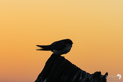 Wire Tailed Swallow at Sunset