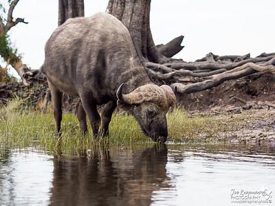 A lone old bull buffalo