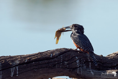 Giant Kingfisher with his prize