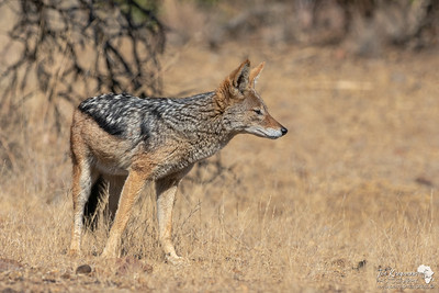 The Black-Backed Jackal