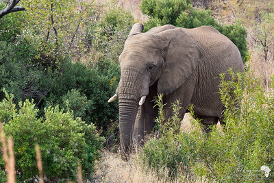 Large bull elephant in the bush