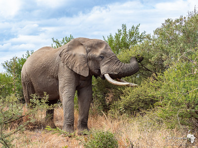 Bull elephant feeding in Pilanesberg