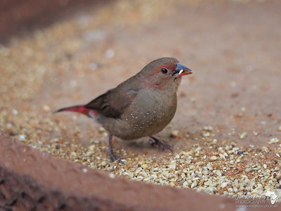 Red Billed Finch