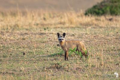 A bat eared fox