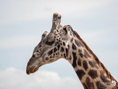Male Masai Giraffe