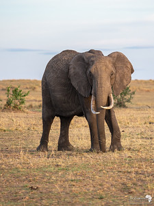 A Female Elephant turns towards us