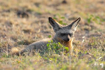 Bat-eared fox diplaying this wonderful ears