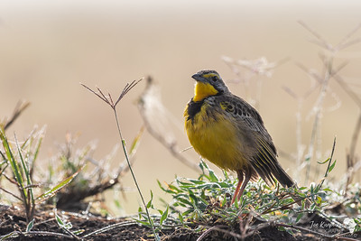 The Yellow-Throated Longclaw