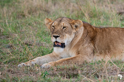 Lioness resting after a good feed