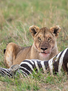 lioness on a kill