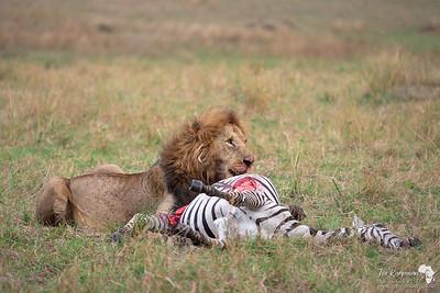 Lion on a fresh zebra carcass.