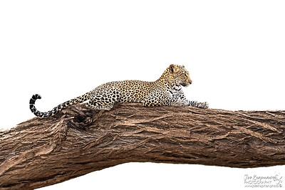 Leopardess in Samburu