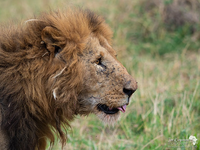 Old male lion