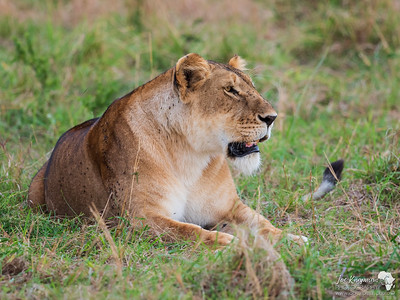 Content and well fed lioness in the Mara