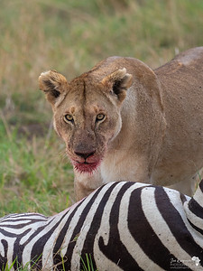Lioness ready for a feast