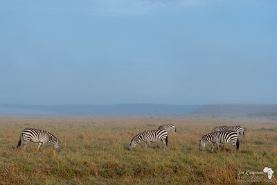 Zebras in the plains