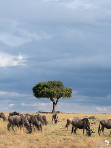 Wildebeest and stormy skies