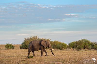 Female elephant in early light