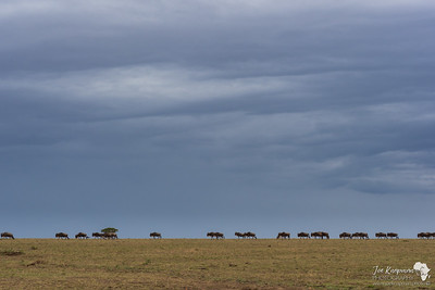 Wildebeest following the rains