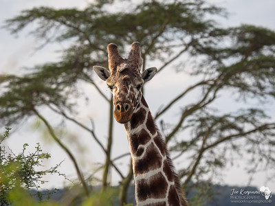 Bull Reticulated Giraffe
