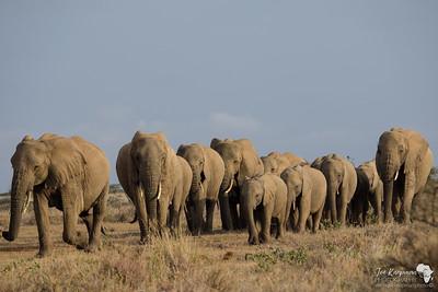Herd Elephant 1