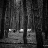 Sheep in the Forrest @ Groot Heidestein