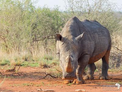 White Rhino Stare Down