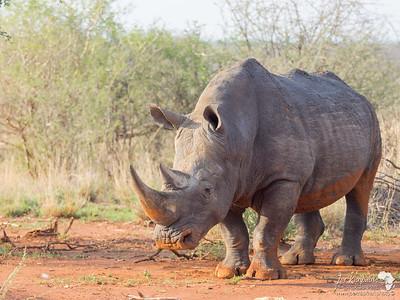 The Magnificent White Rhino